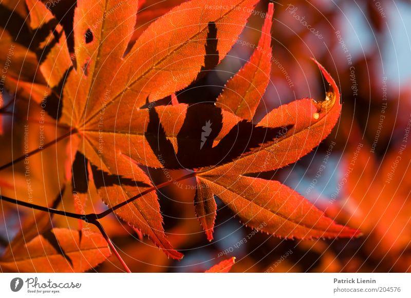 ich seh rot Natur schön Baum Pflanze rot ruhig Blatt oben Wetter Umwelt exotisch strahlend intensiv Ahornblatt Ahornzweig