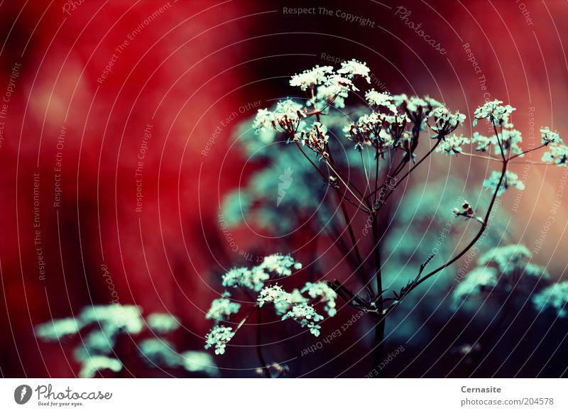Natur blau weiß rot Pflanze Sommer dunkel Wärme Angst außergewöhnlich gefährlich ästhetisch Europa trist nah gruselig