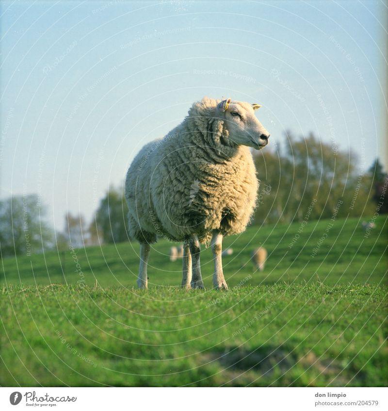 Schaf Natur Sommer Schönes Wetter Gras Wiese Hügel Schafswolle Tier Nutztier Tiergesicht Fell Tiergruppe Herde Fressen Schafherde Landschaft Landwirtschaft