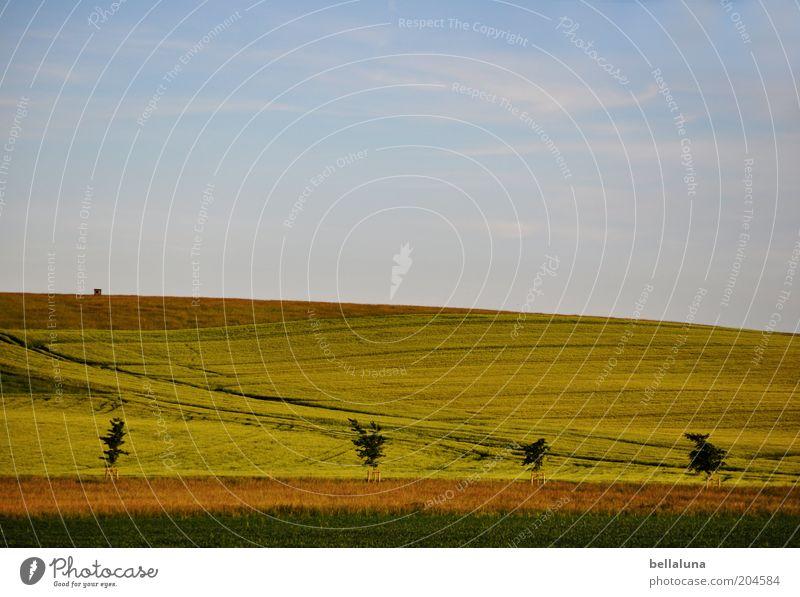 ... und es ist Sommer! Umwelt Natur Landschaft Pflanze Luft Himmel Wolken Horizont Sonnenlicht Klima Wetter Schönes Wetter Wärme Nutzpflanze Feld blau braun