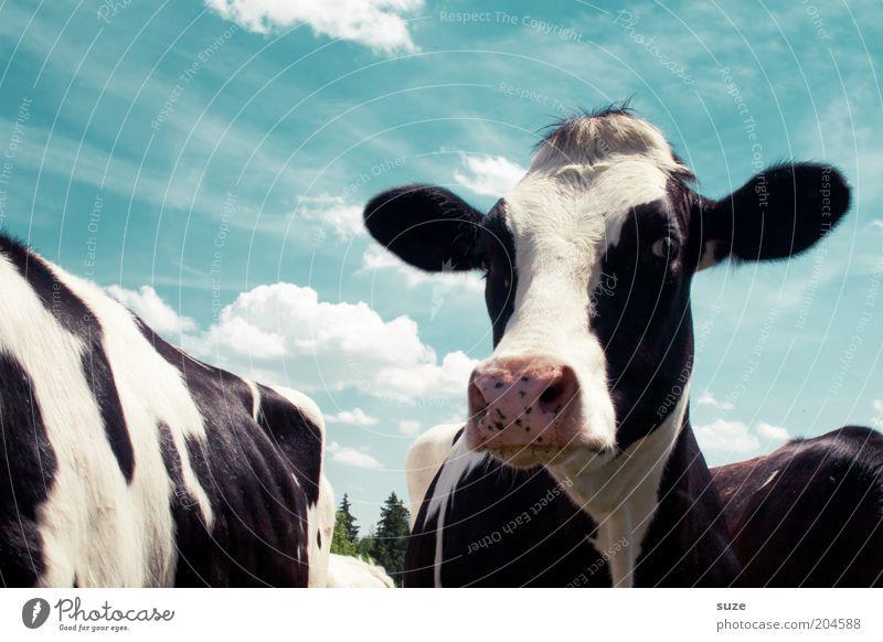 Matilda Himmel Natur blau weiß Tier Wolken schwarz Umwelt natürlich Idylle Tiergruppe Tiergesicht Kuh Bioprodukte Biologische Landwirtschaft Tierzucht