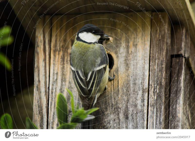 Meise ohne Zweig Kohlmeise Paridae Abheben Landen Brutpflege Gelege Eltern Frühling füttern Garten Haus Meisen Nistkasten Tierpaar Futterhäuschen vogelkasten
