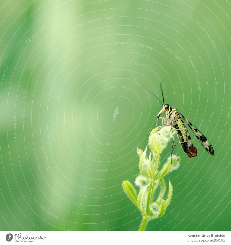 Gemeine Skorpionsfliege Natur grün Pflanze schwarz Tier gelb Blüte sitzen Insekt Wildtier Wildpflanze Fluginsekt