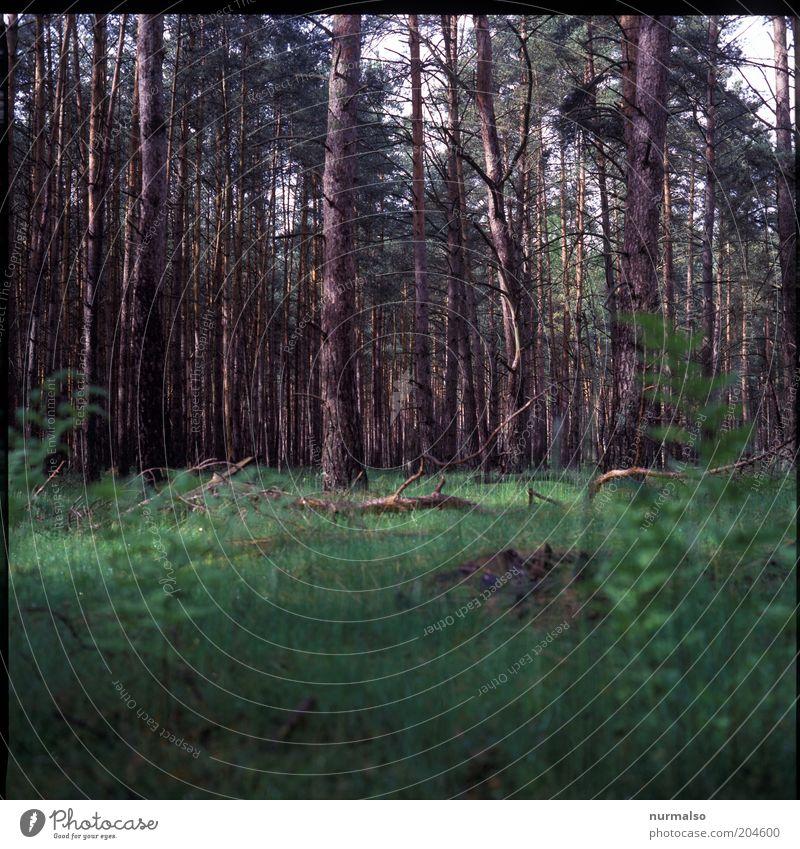 Morgen im Wald Natur Baum Pflanze Ferien & Urlaub & Reisen ruhig Wald Erholung Ausflug authentisch Freizeit & Hobby gut natürlich Duft Baumstamm Forstwirtschaft Kiefer