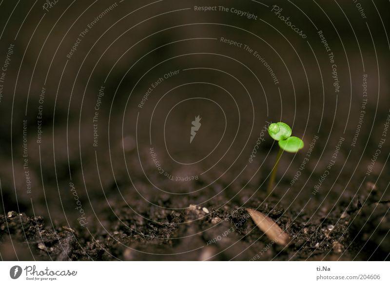 kuckuck Umwelt Natur Frühling Pflanze Sämlinge Löwenmäulchen Wachstum klein nass natürlich braun grün Kraft Hoffnung Glaube Farbfoto Außenaufnahme Nahaufnahme