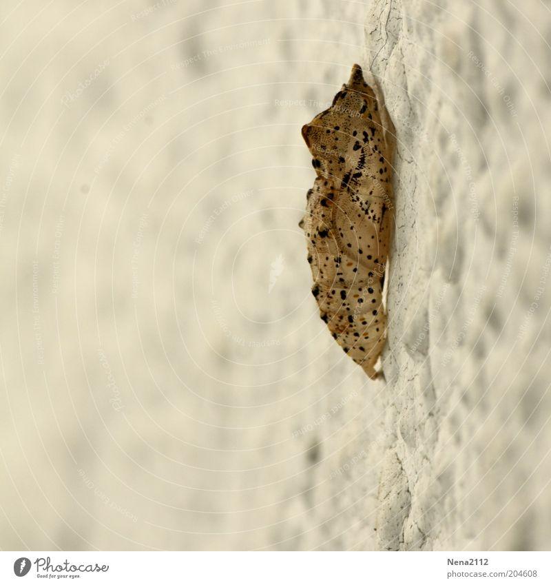 Ausgezogen Natur Schmetterling 1 Tier klein Kokon Farbfoto Außenaufnahme Nahaufnahme Detailaufnahme Makroaufnahme Menschenleer Tag Raupe Hülle Metamorphose