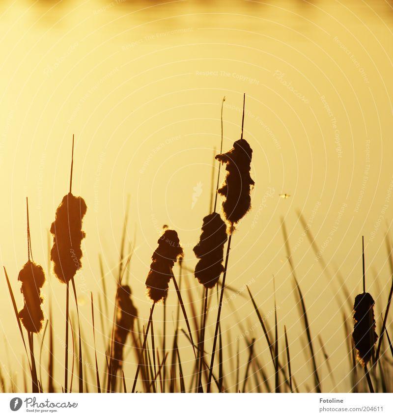 - 250 - Mücken am See Natur Wasser Pflanze Sommer schwarz Wärme Landschaft hell Umwelt gold heiß Schilfrohr Seeufer Urelemente Schönes Wetter Stechmücke
