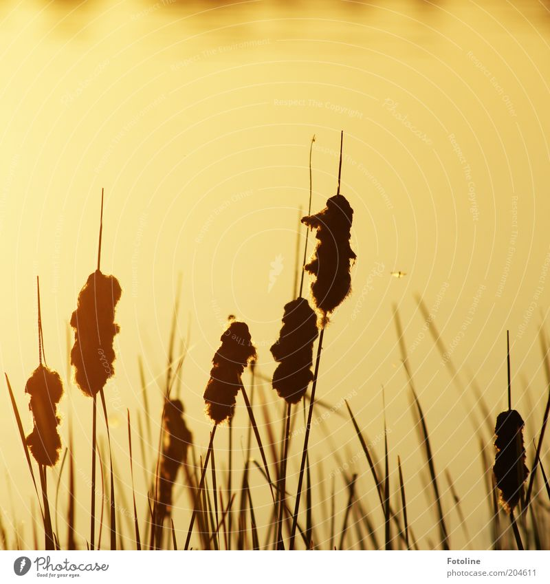 - 250 - Mücken am See Umwelt Natur Landschaft Pflanze Urelemente Wasser Sommer Schönes Wetter Seeufer heiß hell Wärme gold schwarz Schilfrohr Stechmücke