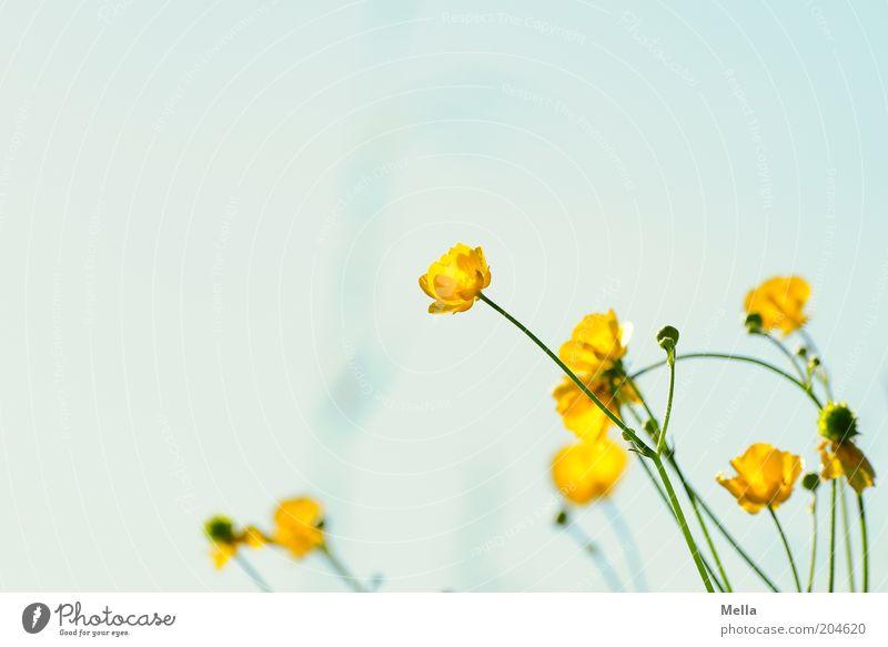 geblümt Umwelt Natur Pflanze Frühling Sommer Blume Blüte Hahnenfuß Blühend Wachstum frisch hell schön natürlich blau gelb Duft Farbfoto mehrfarbig Außenaufnahme