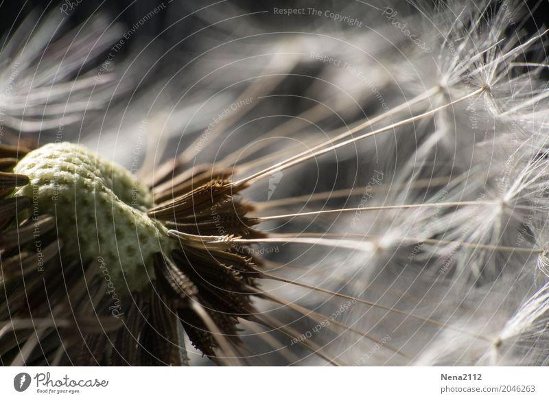 Mit Schwung Umwelt Natur Pflanze Luft Sommer Schönes Wetter Wind Blume Wildpflanze Garten Park Wiese Feld Wald fantastisch Löwenzahn Samen zerbrechlich leicht