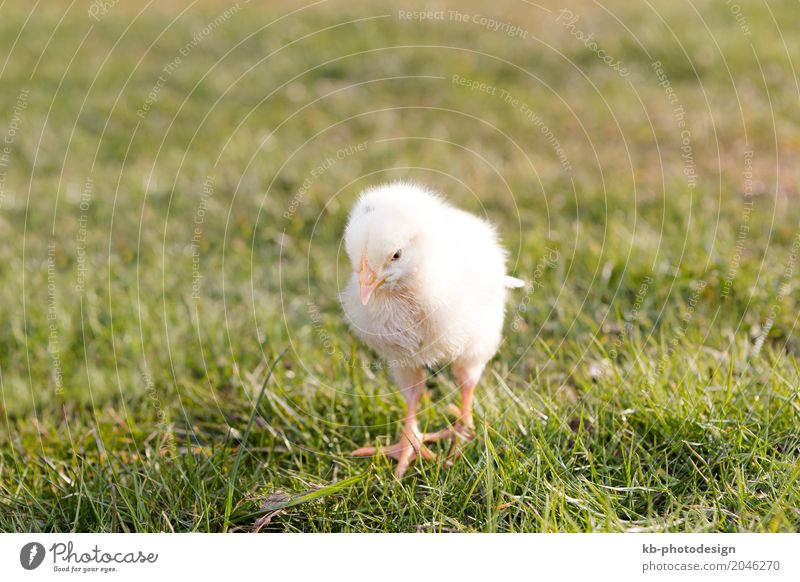 Young chicken on a meadow outdoor Nutztier Haushuhn 1 Tier Tierjunges gelb ducks Easter animals farm farm animals farming newborn black animal breeding