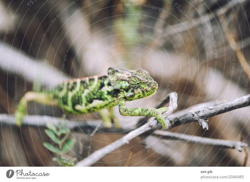 Neugieriges Chamäleon Tier Wildtier grün tropische Tiere Farbfoto Nahaufnahme Detailaufnahme Makroaufnahme Textfreiraum oben Unschärfe Starke Tiefenschärfe