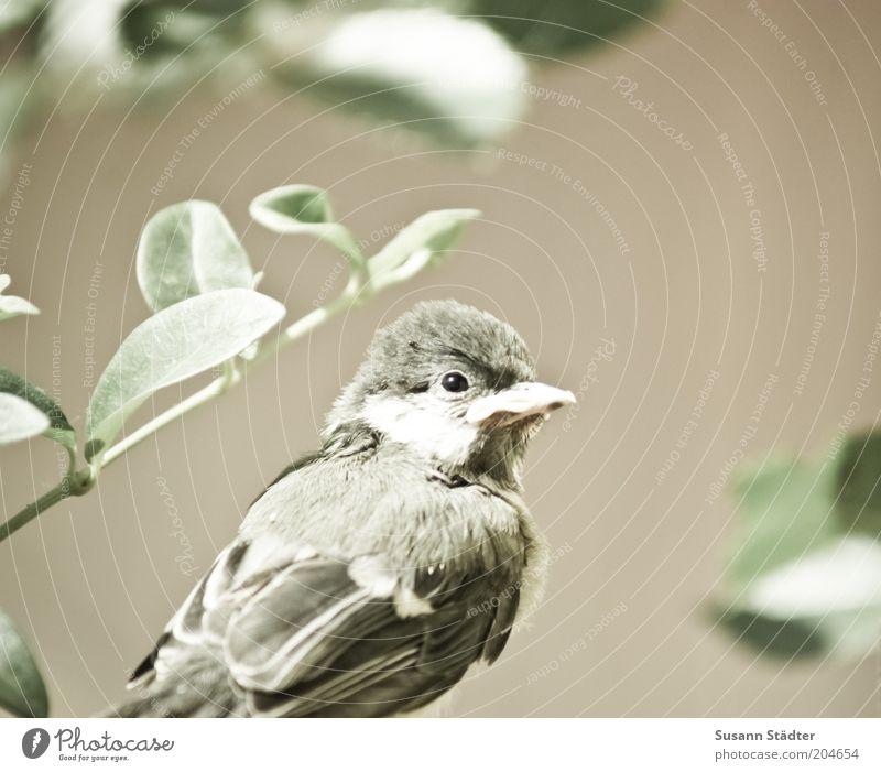 Die ersten Schritte allein Tier Wildtier Vogel Tiergesicht Flügel 1 Tierjunges beobachten hocken weich klein Pflanze kuschlig Einsamkeit Gedeckte Farben
