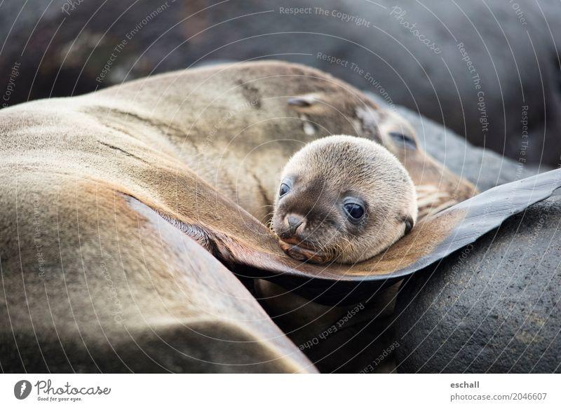 So cute... Abenteuer Ferne Meer Insel Tier Wildtier Tiergesicht Robben Robbenbaby 1 genießen kuschlig niedlich positiv weich braun Coolness Schutz Geborgenheit