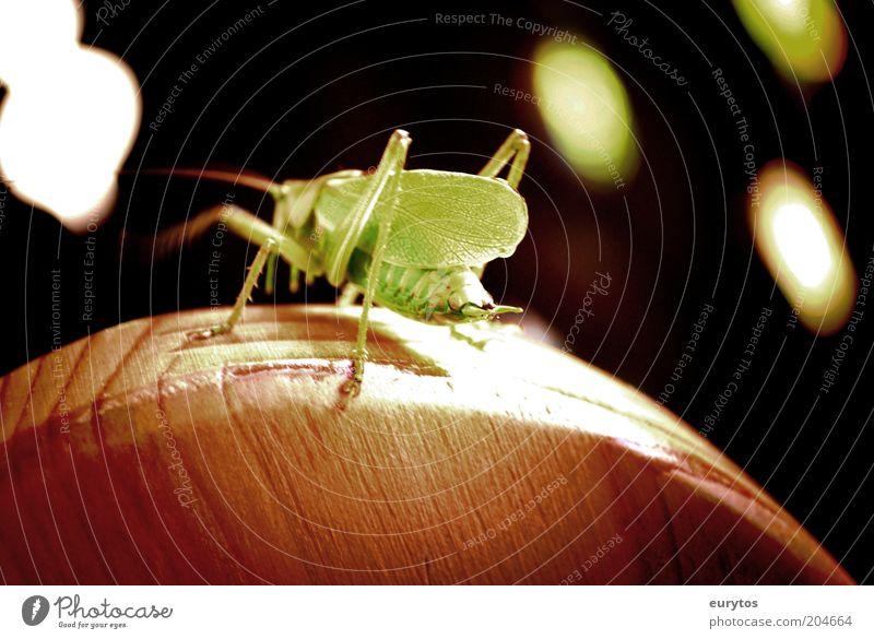 Grashüpfer Disco! Natur grün schwarz Tier Holz Tanzen Umwelt Wildtier Heuschrecke Lichteffekt Lichtfleck Steppengrashüpfer
