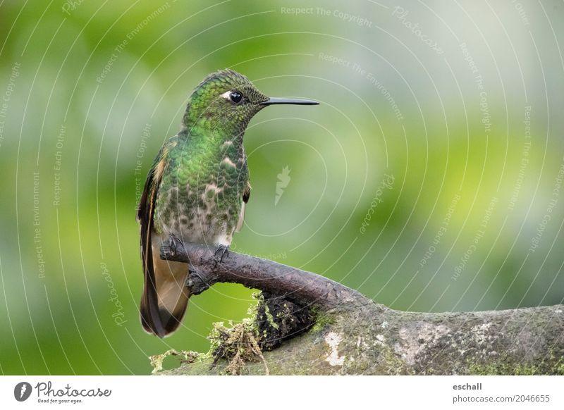 Flying Artist II (Kolibri, Nebelwald Ecuador) Natur Farbe schön grün Tier natürlich Bewegung Freiheit Vogel fliegen frei elegant ästhetisch Wildtier Abenteuer
