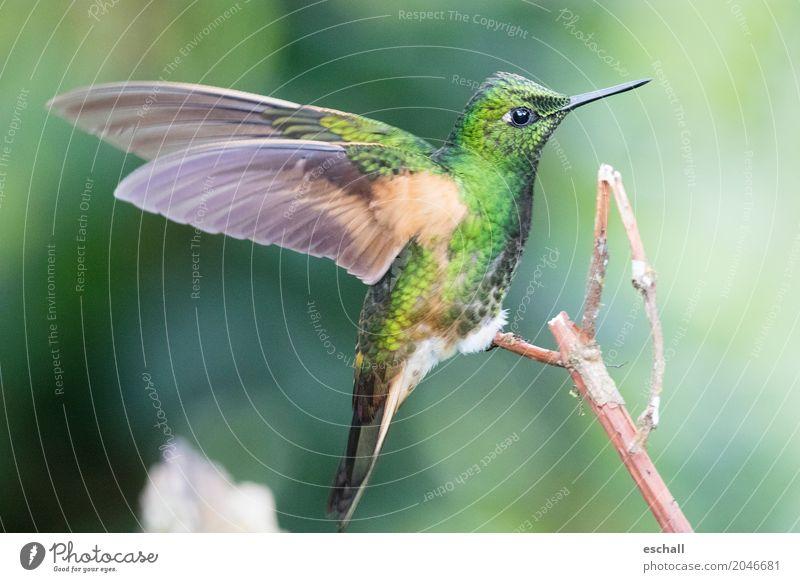 Flying Artist (Kolibri, Nebelwald Ecuador) Natur schön grün Tier natürlich außergewöhnlich Vogel fliegen frei elegant ästhetisch Wildtier fantastisch