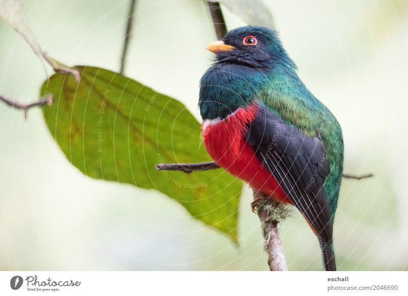 Beautiful Bird (Maskentrogon, Ecuador) Natur Ferien & Urlaub & Reisen blau Farbe schön grün rot Tier Ferne natürlich Freiheit Vogel fliegen Zufriedenheit