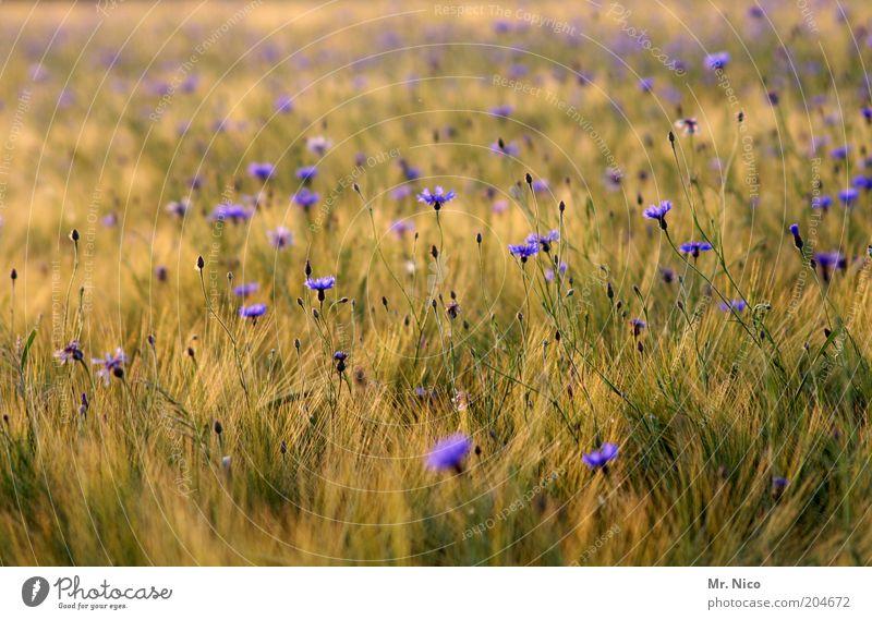 Sommerduft Umwelt Natur Landschaft Pflanze Gras Feld gelb grün violett Blumenwiese Kornfeld Sommertag Wärme frisch Heimat Getreidefeld Blüte Wildpflanze
