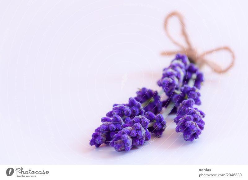 Lavendel mit Schleife auf weißem Untergrund Kräuter & Gewürze Sommer Herbst Blüte Blumenstrauß violett Duft Wellness Lippenblüter Lavendula angustifolia