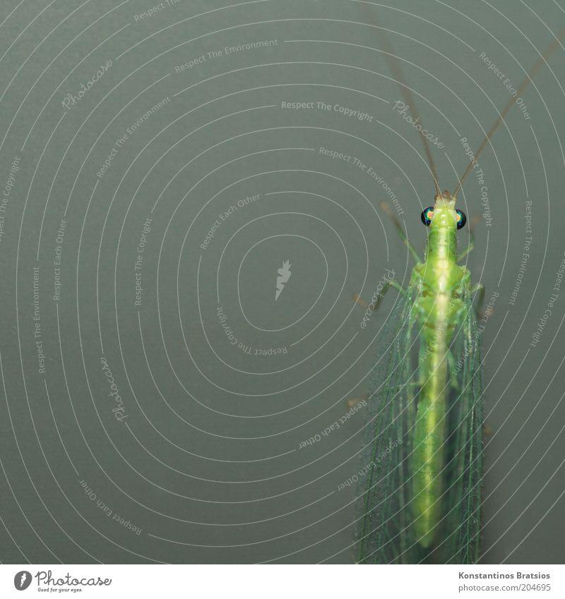 Monitor an, Florfliege dran grün Tier Farbe grau warten glänzend Fliege Flügel dünn Insekt außergewöhnlich Fühler Makroaufnahme Glasscheibe Facettenauge