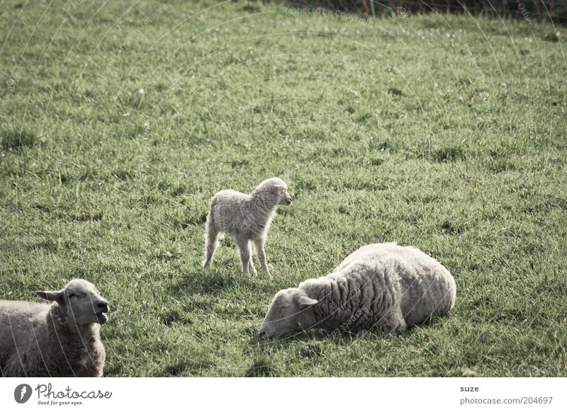 Frei Schnauze Natur grün Sommer Tier Wiese Gras Tierjunges klein träumen liegen Tiergruppe niedlich Weide Schaf Fressen tierisch