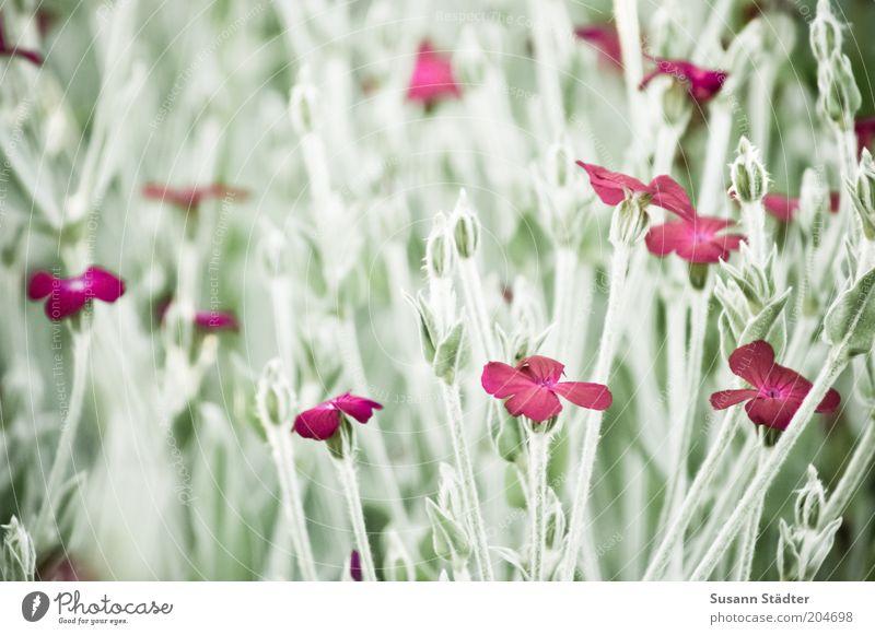 das Unkraut blüht Natur Pflanze Sommer Gras Sträucher Grünpflanze Wildpflanze Wiese Blühend Blüte schön Steinkraut Berg-Steinkraut rot Gedeckte Farben