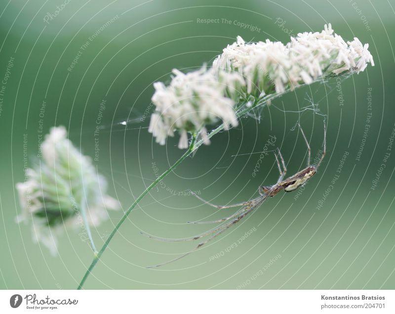 alles im Griff Natur weiß grün Pflanze Tier Blüte warten elegant dünn natürlich Stengel festhalten Wachsamkeit Halm Spinne geduldig
