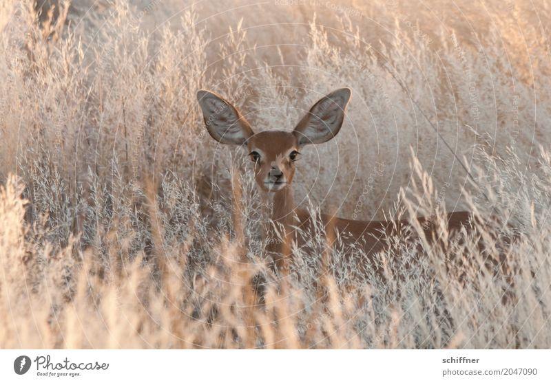 Spannung | Lauscher auf! Umwelt Natur Pflanze Tier Schönes Wetter Wärme Dürre Gras Sträucher Wüste Wildtier 1 hören Blick Nervosität Wachsamkeit Antilopen