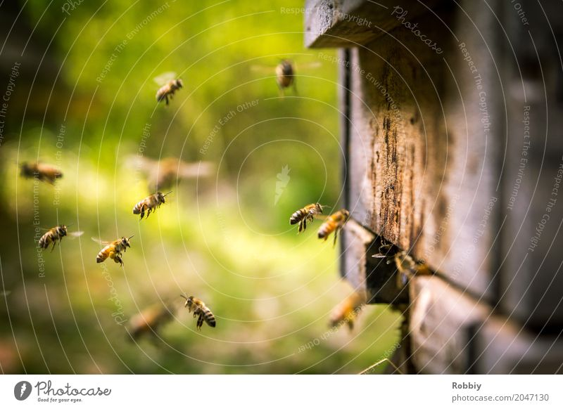 Bienen im Landeanflug Tier Bienenstock Schwarm fliegen natürlich Gesundheit Idylle nachhaltig Natur Team Umwelt Umweltschutz Honigbiene emsig Summen fleißig