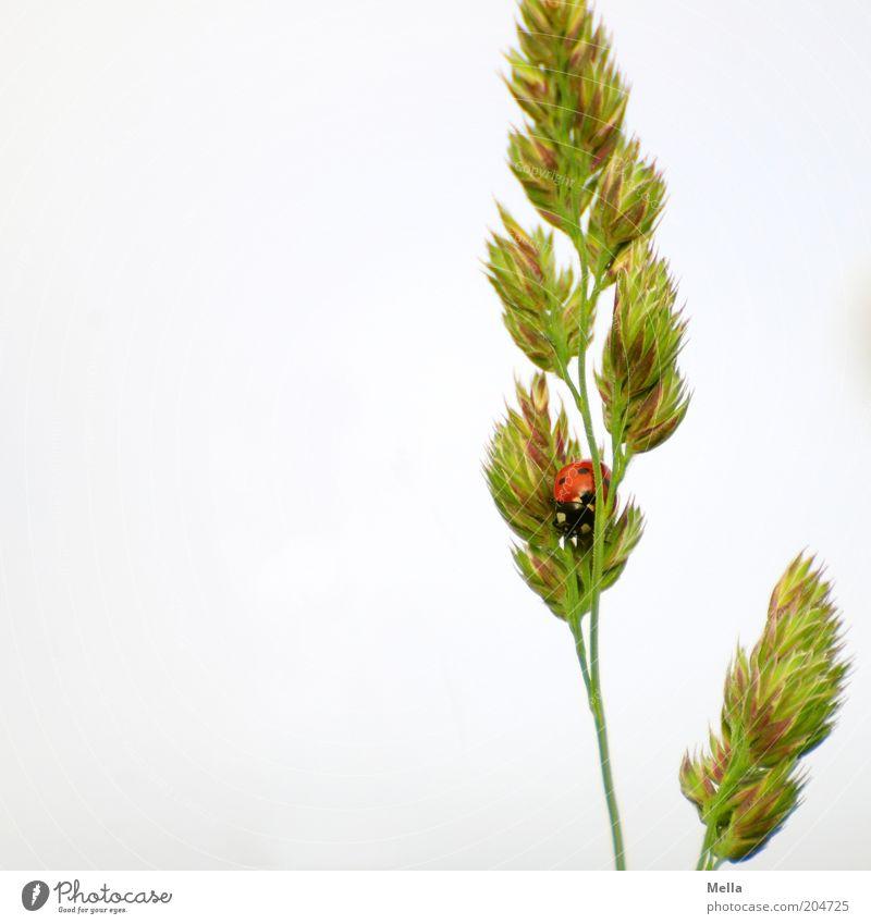 Du siehst mich nicht! Umwelt Natur Pflanze Tier Frühling Sommer Gras Ähren Blüte Wildtier Käfer Marienkäfer 1 hocken sitzen klein natürlich niedlich Glück