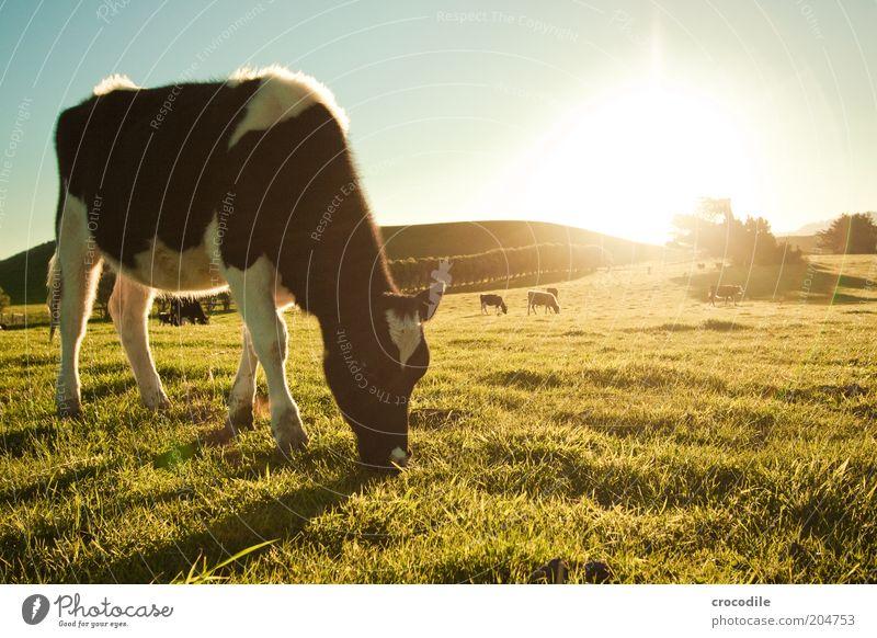 New Zealand 83 Umwelt Natur Landschaft Himmel Sonnenaufgang Sonnenuntergang Sonnenlicht Schönes Wetter Wiese Feld Hügel Tier Nutztier Kuh Tiergruppe Herde