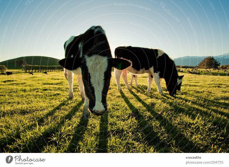 New Zealand 84 Umwelt Natur Landschaft Himmel Sonnenaufgang Sonnenuntergang Schönes Wetter Wiese Feld Hügel Tier Nutztier Kuh Tiergruppe Herde Ernährung