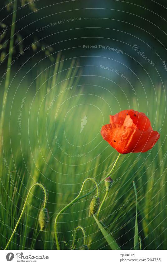 Ich träum vom Sommer... Natur schön Blume grün Pflanze rot Sommer ruhig Blüte Wärme elegant frisch ästhetisch Wachstum weich einzigartig