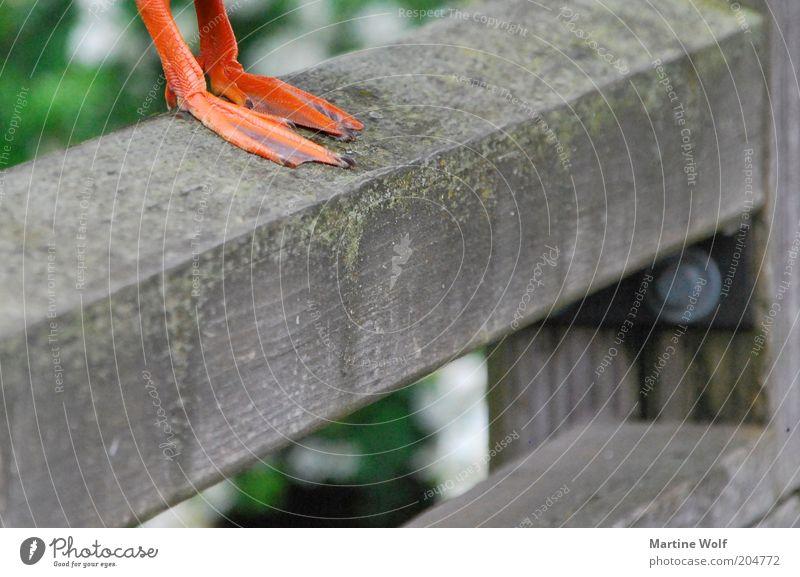 zeig her deine Füße Beine Vogel Krallen Ente Erpel stehen standhaft Schwimmhaut Tierfuß Nahaufnahme Detailaufnahme Farbfoto Menschenleer