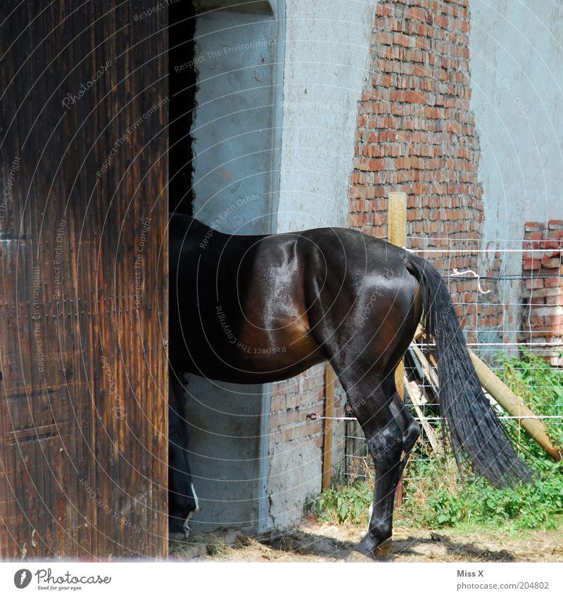 Ein Halbes Tür Tier Nutztier Pferd 1 Schüchternheit Bauernhof Stall Pferdestall flüchten verstecken Scheunentor Farbfoto Außenaufnahme Menschenleer