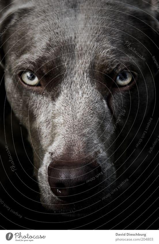 Schneewittchens Oma Tier Haustier Hund Tiergesicht Fell 1 schwarz Auge Nase Schnauze grau böse Böser Wolf gruselig Werwolf Blick wild Labrador Mischling