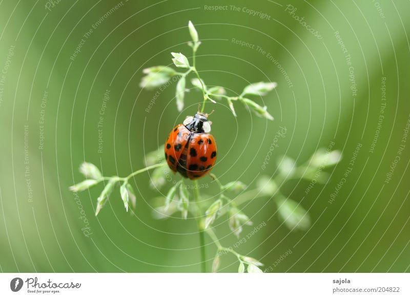 viel glück! Umwelt Natur Tier Pflanze Gras Halm Käfer Marienkäfer 1 sitzen warten grün rot Glück Glücksbringer Farbfoto Außenaufnahme Makroaufnahme