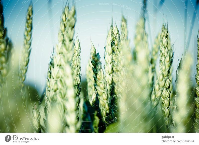 unser täglich brot grün blau Ernährung Landschaft Feld Gesundheit Lebensmittel Umwelt Wachstum natürlich Getreide Landwirtschaft Korn Schönes Wetter positiv Optimismus