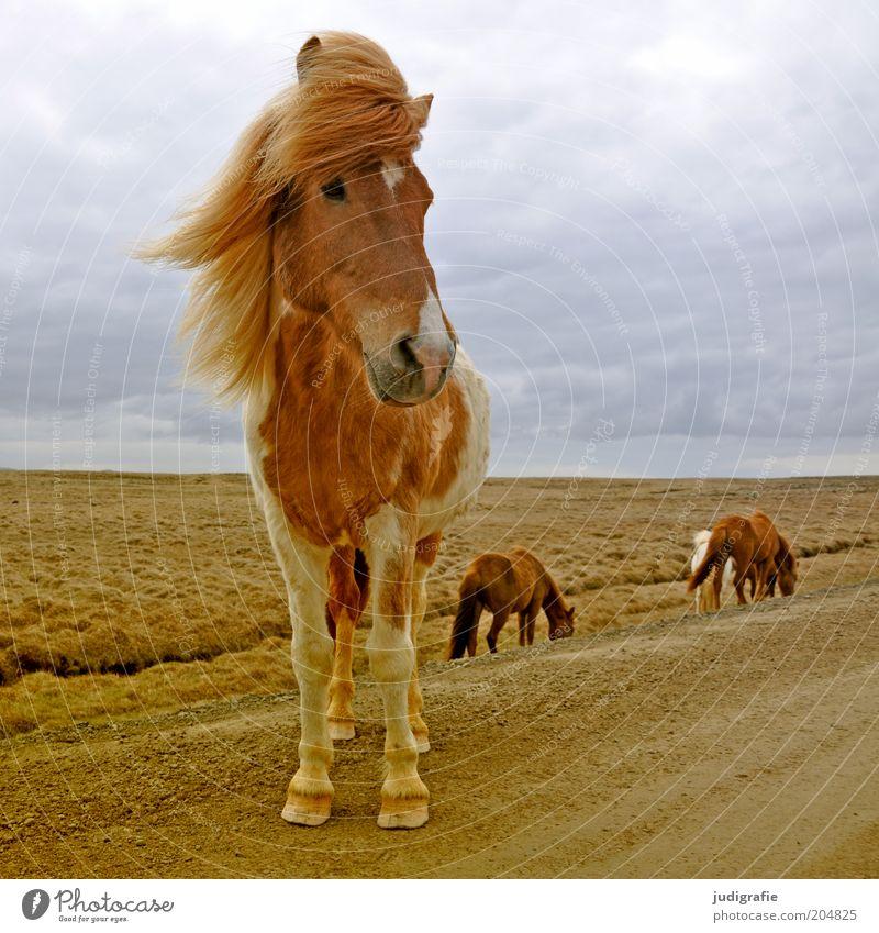 Island Umwelt Natur Landschaft Himmel Wolken Tier Nutztier Pferd 1 Tiergruppe Fressen stehen warten ästhetisch natürlich schön wild Stimmung Bewegung Idylle