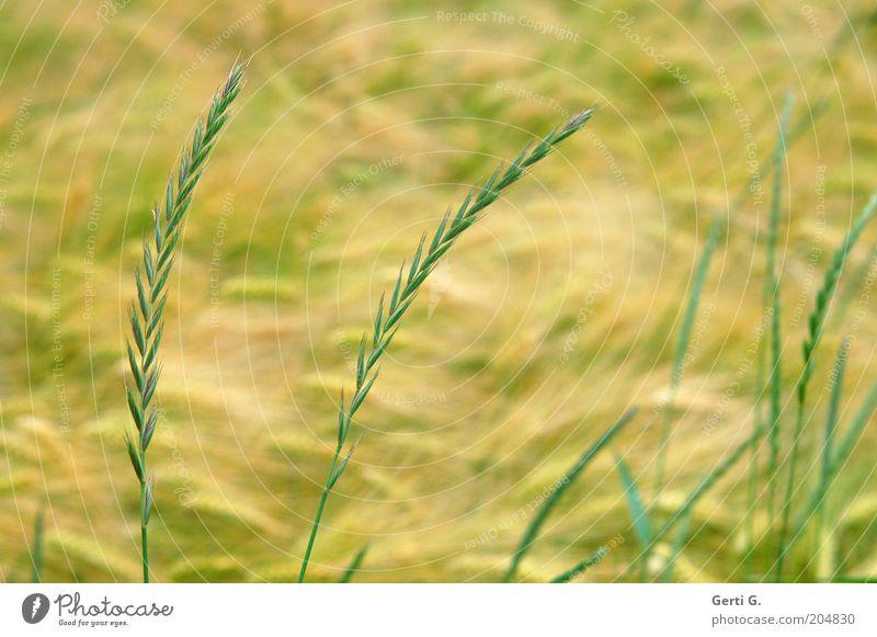 FeldGras Natur grün Sommer ruhig gelb Gras Halm Weizen friedlich Nutzpflanze Weizenähre