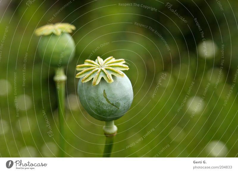 kaspeln Natur grün Pflanze ästhetisch Wachstum paarweise natürlich Mohn Samen grün-gelb Mohnkapsel