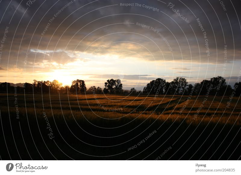 Kornfeld Umwelt Natur Landschaft Himmel Sonne Sonnenaufgang Sonnenuntergang Sonnenlicht Schönes Wetter Pflanze Baum Nutzpflanze Getreide Feld Menschenleer frei