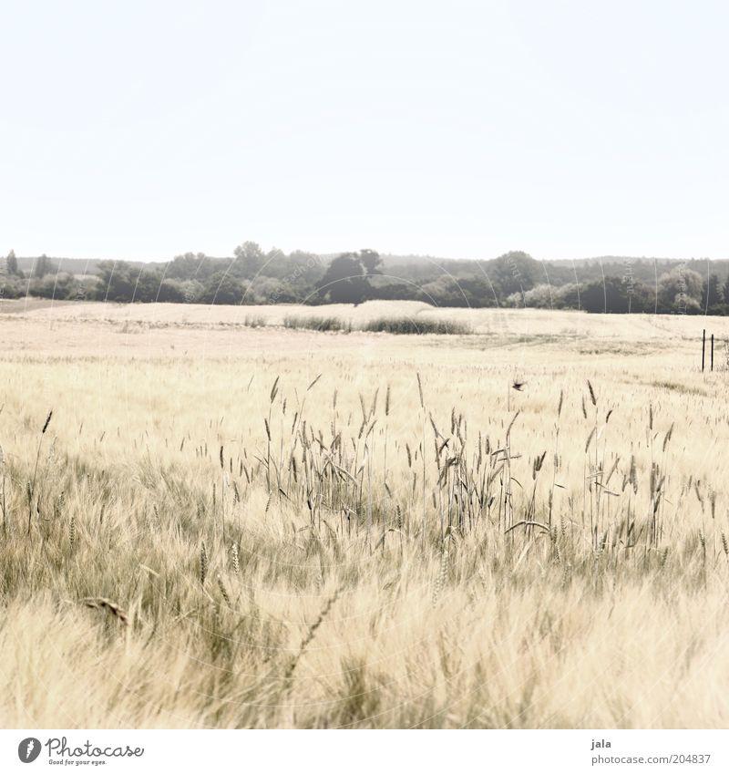 summer fields Natur Landschaft Himmel Pflanze Gras Sträucher Feld hell trocken Wärme Kornfeld Farbfoto Gedeckte Farben Außenaufnahme Menschenleer