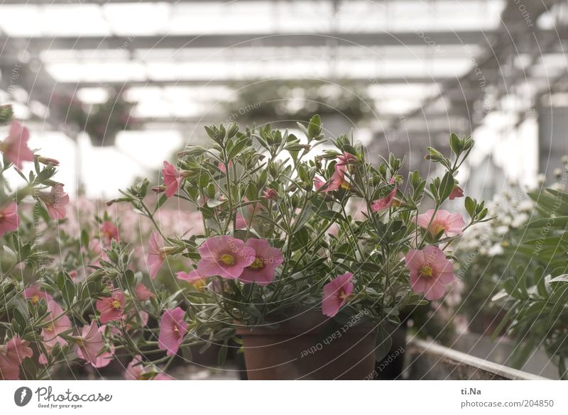 kauf mich Gärtnerei Frühling Sommer Pflanze Blume Topfpflanze Bauwerk Gebäude Gewächshaus Blühend Duft Wachstum hell schön grün rosa Farbfoto Menschenleer Blüte