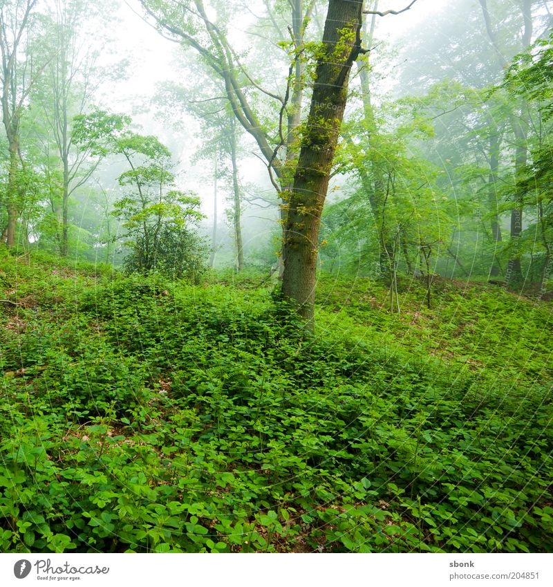 Ruhe Natur Baum grün Pflanze ruhig Wald Nebel Umwelt Wachstum Klima Efeu Grünpflanze Wildnis grünen unberührt Laubwald