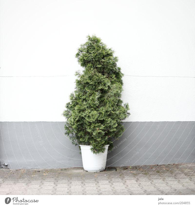 topfpflanze Pflanze Baum Grünpflanze Topfpflanze Platz Mauer Wand Fassade gut grau grün weiß Farbfoto Außenaufnahme Menschenleer Textfreiraum links