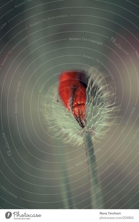 Kopf hoch!!!! Natur schön Blume Pflanze rot Sommer Blüte Frühling Umwelt frisch Hoffnung ästhetisch Wachstum Klima Vergänglichkeit Blühend