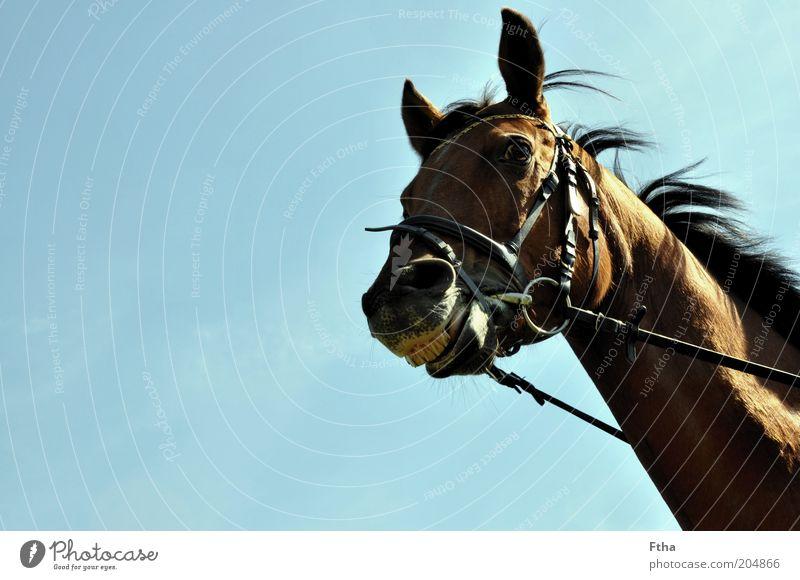 Honigkuchenpferd blau Tier lachen Zufriedenheit braun Pferd Fröhlichkeit Fell Freundlichkeit Lächeln Haustier frech Mähne Nutztier Kopf Wolkenloser Himmel