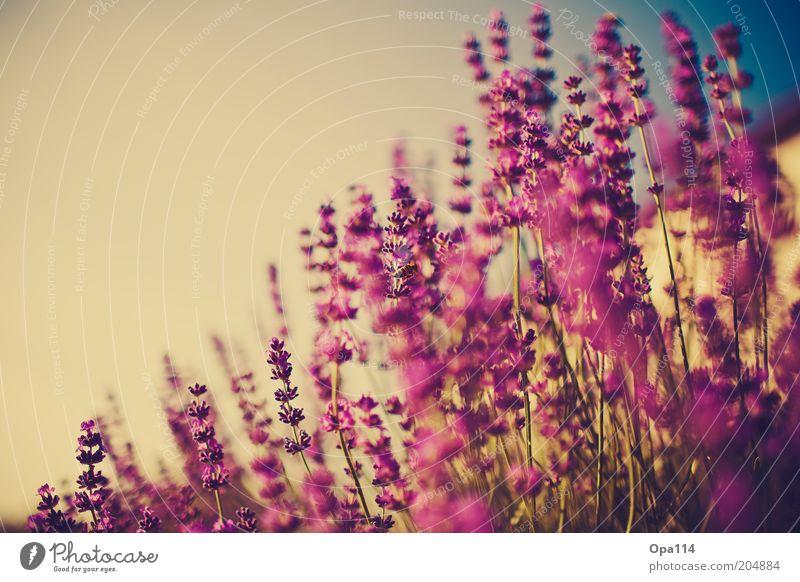 summer in the city Himmel Natur blau Pflanze Sommer Blume Umwelt Garten Wetter rosa Wachstum violett Schönes Wetter Blühend Kräuter & Gewürze Duft